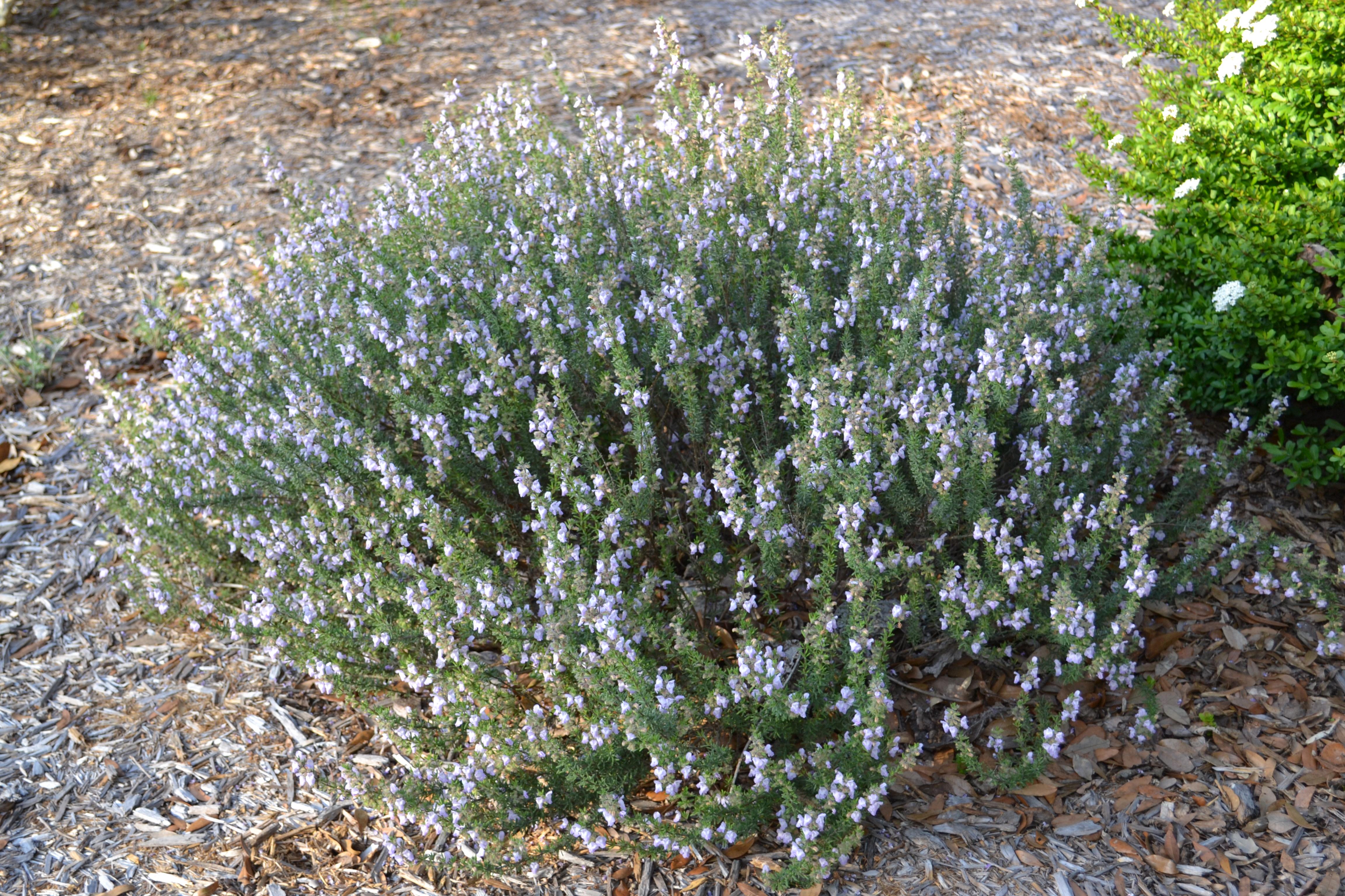 Flores de aster púrpura pasadas de moda, octubre estalló para el jardín | Vida y césped