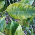 Citrus Greening (HLB) A Troublesome Bacterial Pathogen