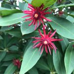 Florida Natives: Florida Red Anise