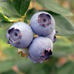 Love Blueberries? Thank the Blueberry Bee!