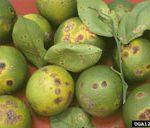 Citrus Canker in Northwest Florida
