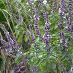 African Blue Basil: A Pollinator Favorite