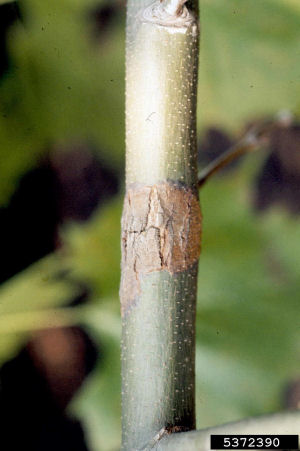 Algal Leaf Spot on a Stem