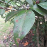 Algal Leaf Spot Common on Magnolias and Camellias