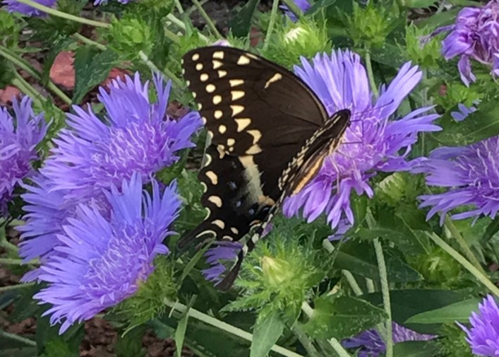 Florida Natives Stokes Aster Gardening In The Panhandle
