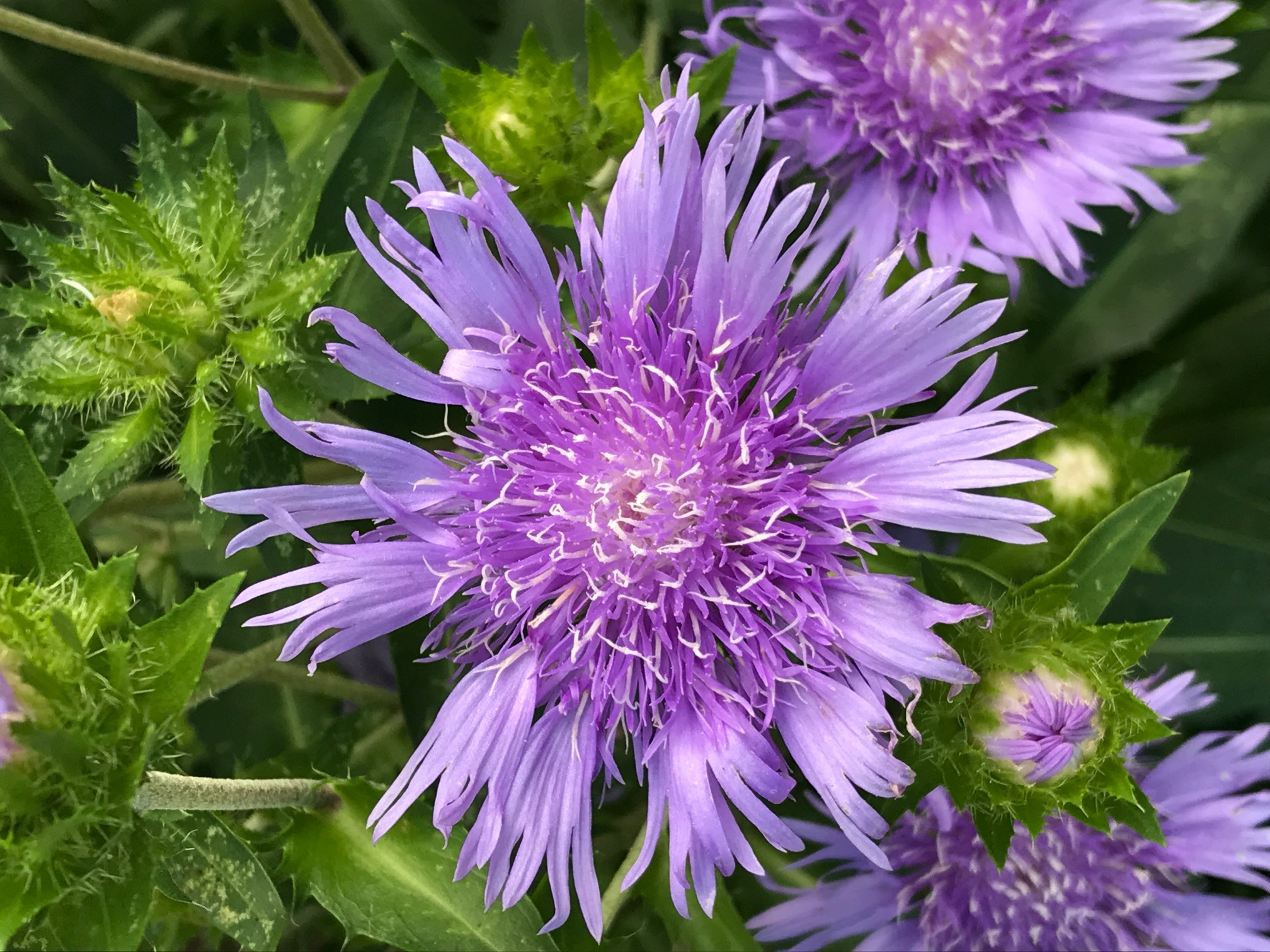 Florida natives stokes aster gardening in the panhandle florida natives stokes aster izmirmasajfo