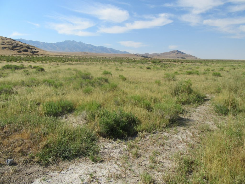 Pickleweed and other plant species growing in the Utah landscape near Timpie Springs.