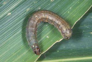 Grass Worms