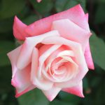 Northwest Florida Rose Symposium Saturday September 16, 2017