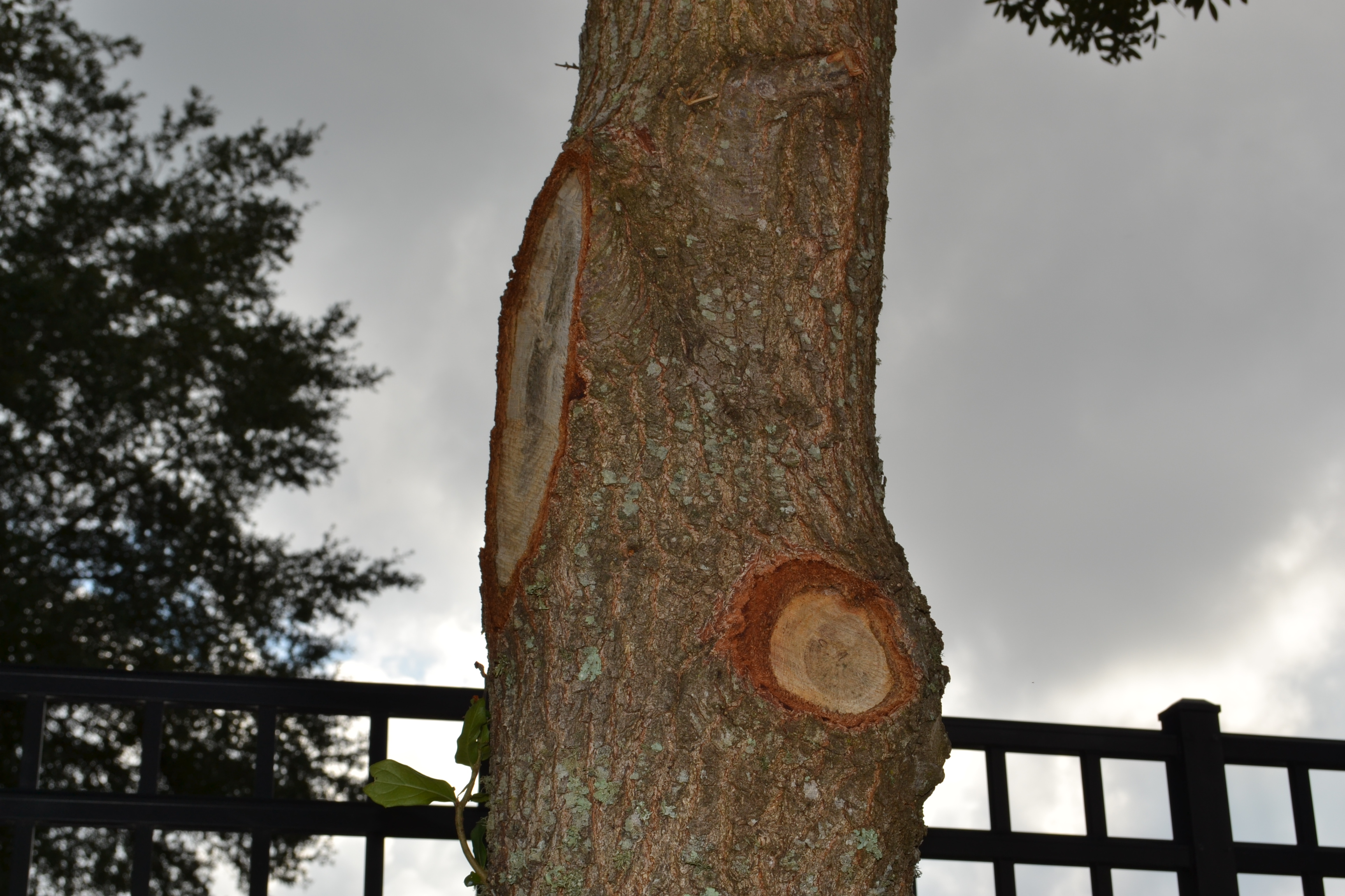 Tree borers amp bark beetles arborx tree health care - Flush Cuts Are Damaging To Trees And Can Create A Future Hazard In Your Landscape Photo By Beth Bolles Uf Ifas Extension Escambia County