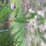 Mysterious Growths on Bald Cypress