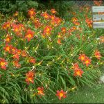 Fall is an Excellent Time to Plant Daylilies