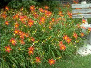 Fall is an Excellent Time to Plant Daylilies        ………..