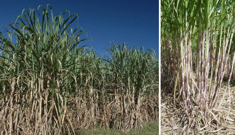 Backyard Sugarcane in the Panhandle