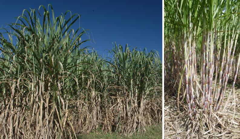 Backyard Sugarcane in the Panhandle