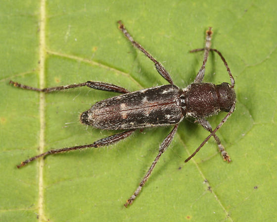A picture of an arrowhead borer.