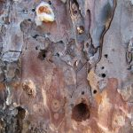 Arrowhead borer damage on a pine tree.