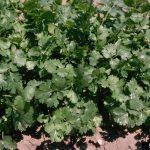 Cilantro – Great for Cool Season Gardening