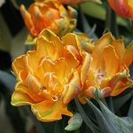 Treat Tulips as Annuals in Florida