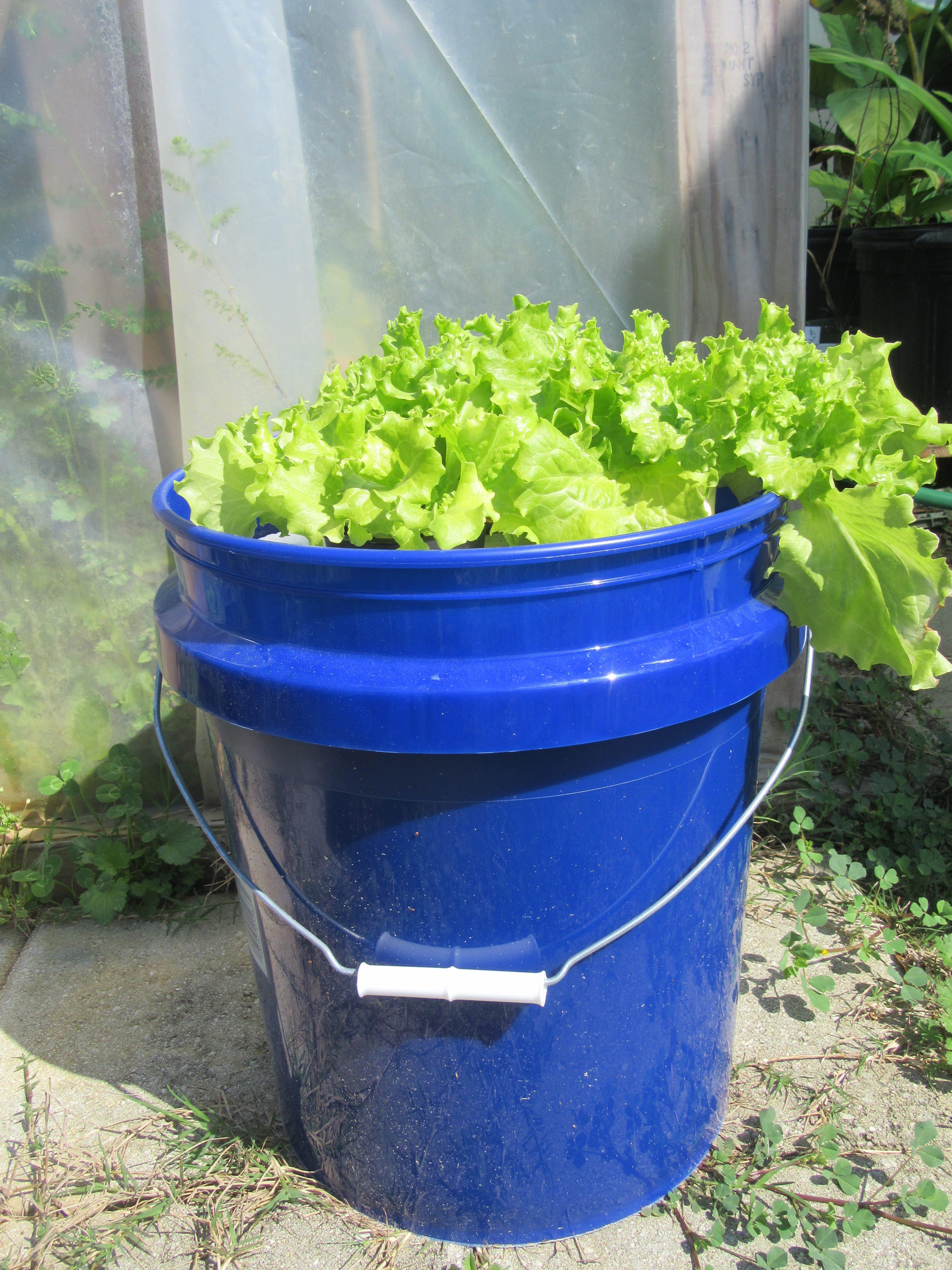 Hydroponic Bucket Garden   Gardening in the Panhandle