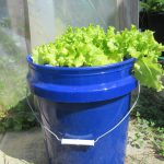 Leaf lettuce growing in a floating hydroponic system.