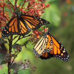 Time to Cut Back Tropical Milkweed
