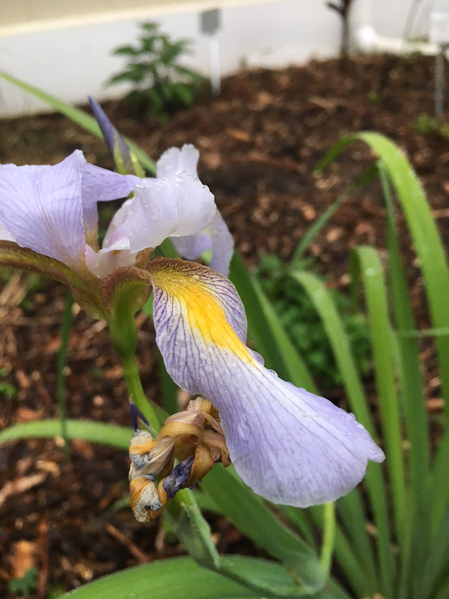 So many irises for the florida garden gardening in the panhandle iris versicolor credit mark tancig ufifas extension leon county izmirmasajfo
