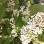 clusters of tiny flowers on luzon viburnum