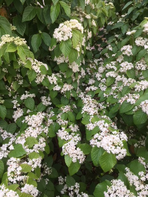 small clusters of white flowers along stem of luzon viburnum