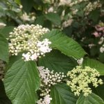 Buds and blooms of Luzon viburnum