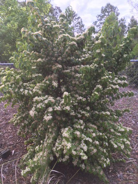 white flowers cover Luzon viburnum in April