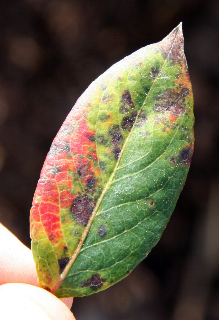 Blueberry rust on top of a leaf.