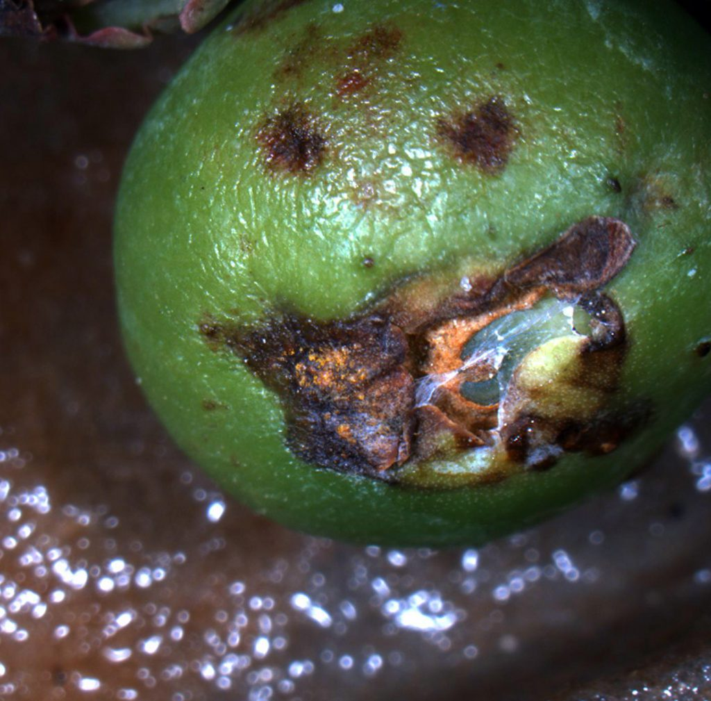 Blueberry leaf rust on fruit.