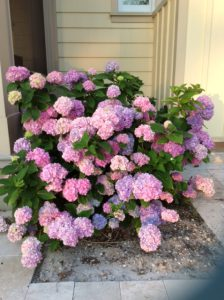 How To Succeed With Hydrangeas Gardening In The Panhandle