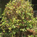 Over Pruned Camellia