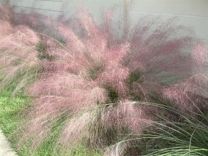 Florida Native: Muhly Grass Muhlenbergia capillaris
