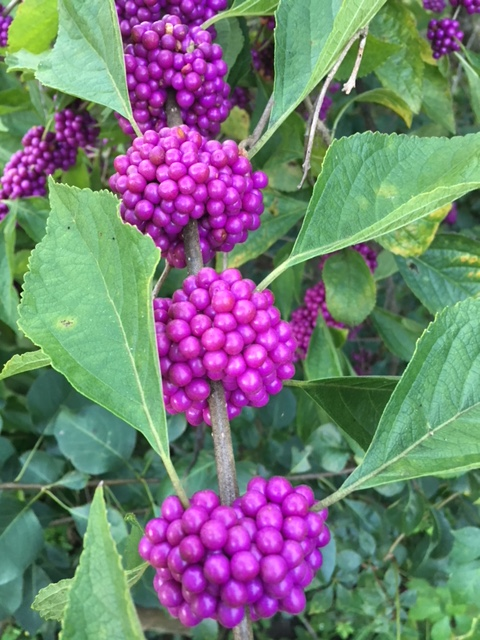 Consider American Beautyberry for Naturalized Landscapes