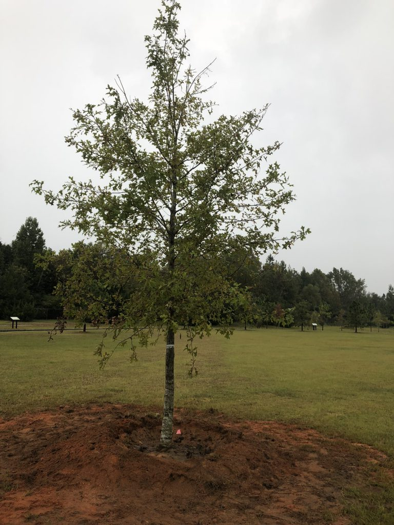 A newly planted tree with water retention berm.