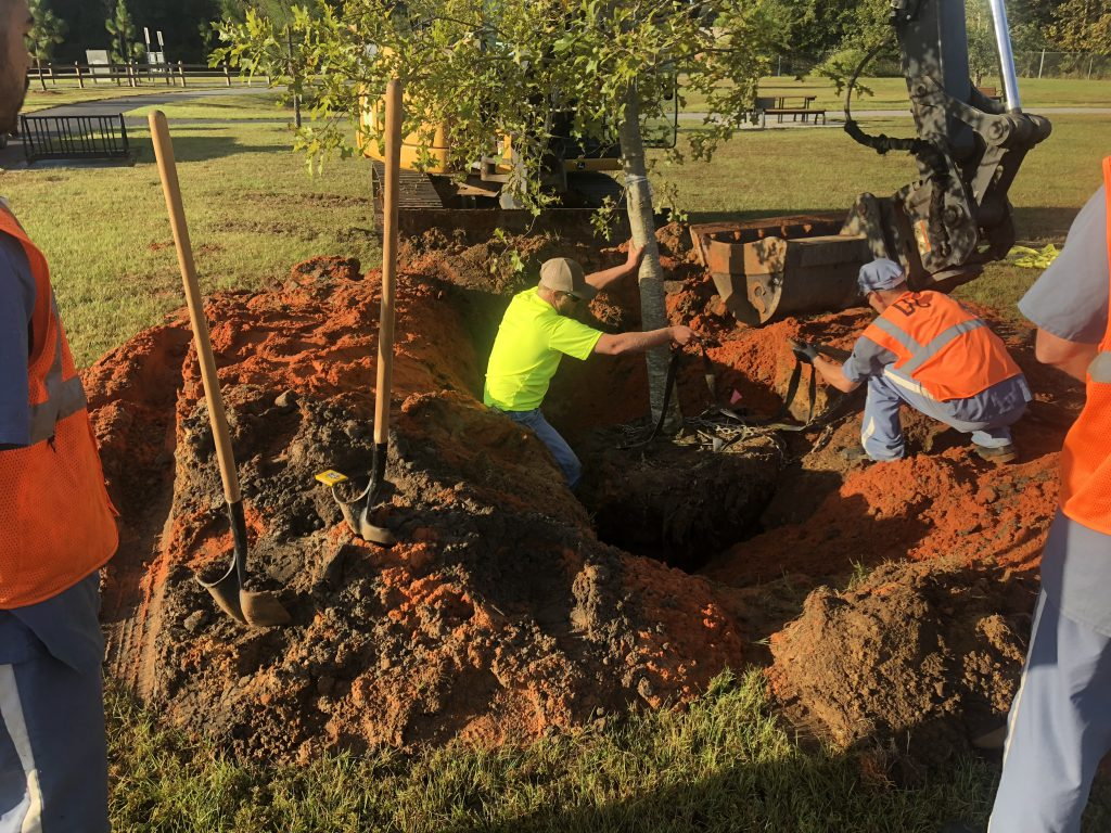 Straightening a tree and adjusting planting height.