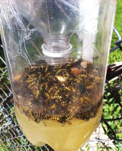 Yellowjacket trap