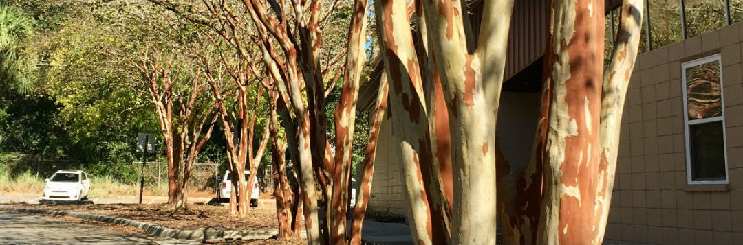 Why Butcher a Nice Crape Myrtle?