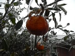 Ice on satsuma fruit in January 2014 in Crestview, Florida