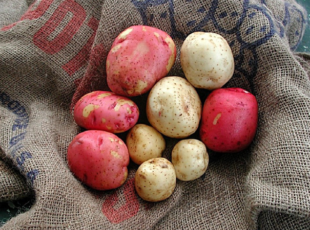 Growing Potatoes in the Panhandle