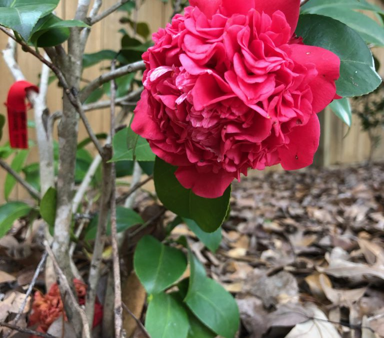 Camellias:  Color Through the Cold
