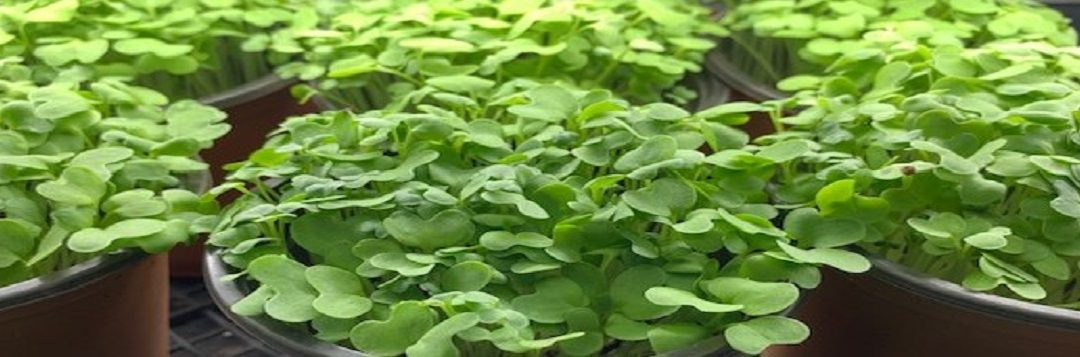 Try Growing Microgreens