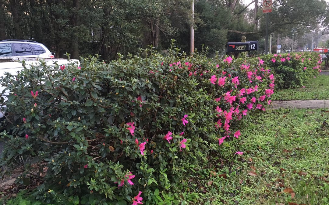 Pruning Azaleas for Color