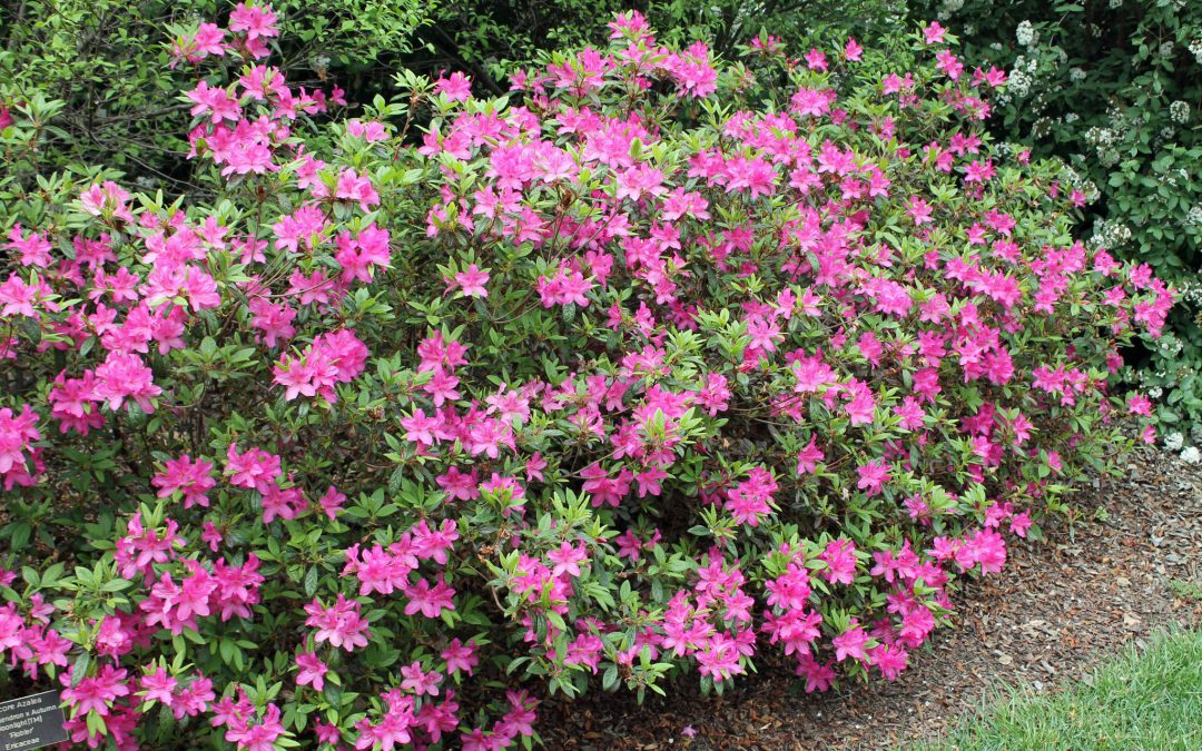Video: How to Control Azalea Caterpillars on Azalea Bushes