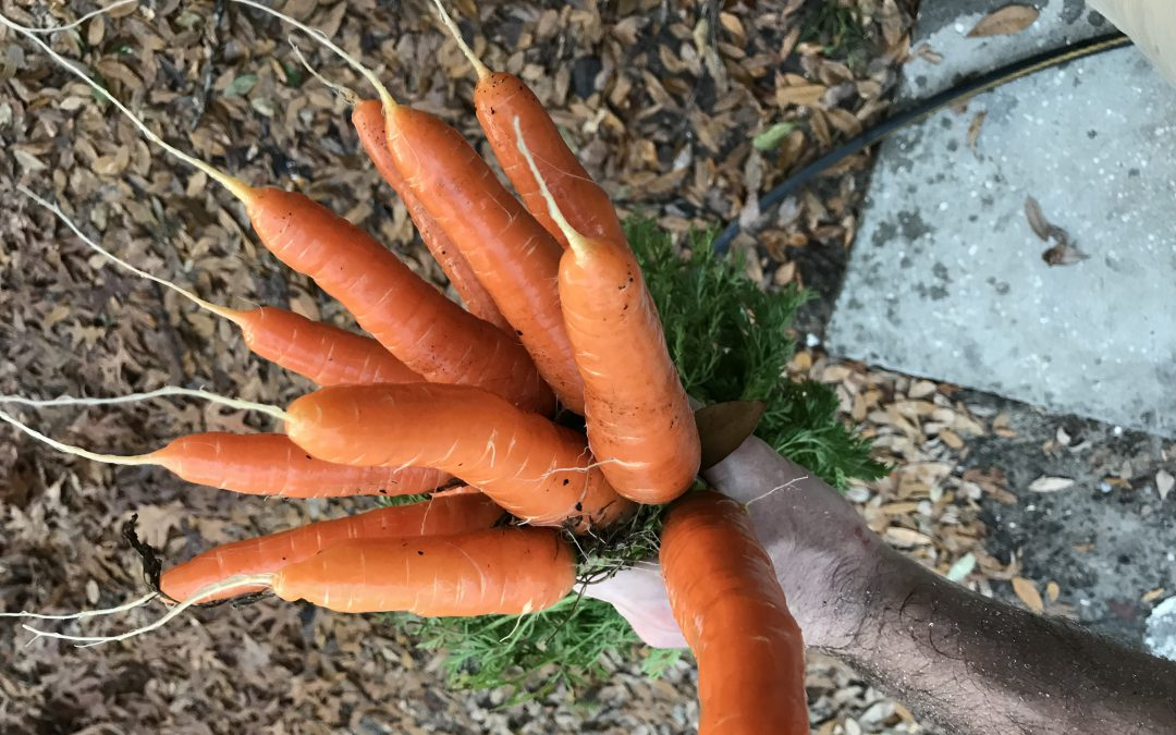 Carrots – The Panhandle's Easiest Garden Vegetable?