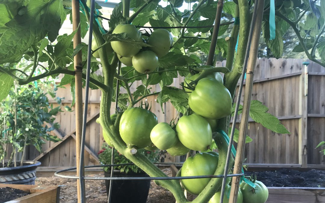 5 Simple Tips for Backyard Tomato Growing Success