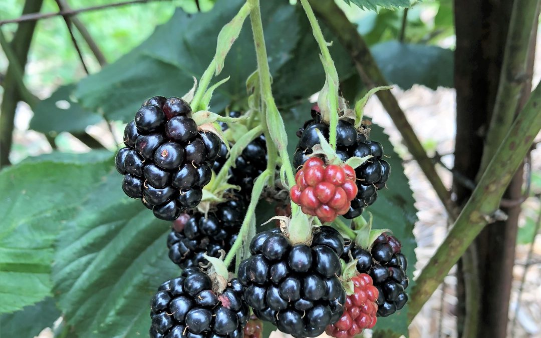 Diagnosing Abiotic Blackberry Fruit Disorders